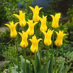 Луковицы тюльпана Флэшбэк