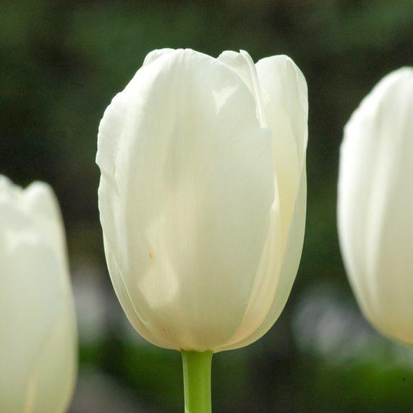 Луковицы тюльпана Болроял Сильвер