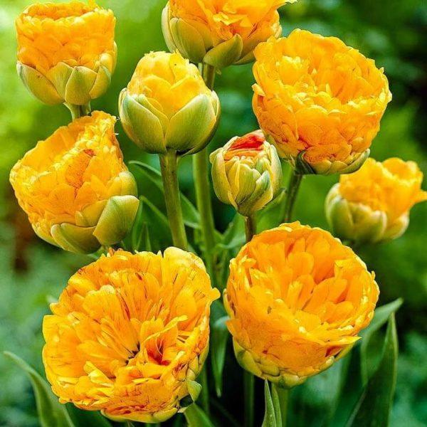 Луковицы тюльпана Голд Февер