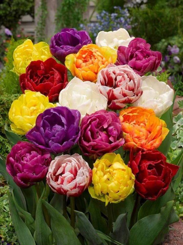 Луковицы тюльпанов махровые