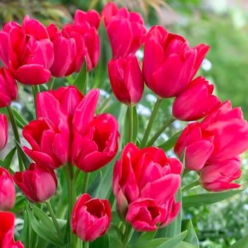 Луковицы тюльпана Мерри Гоу Раунд