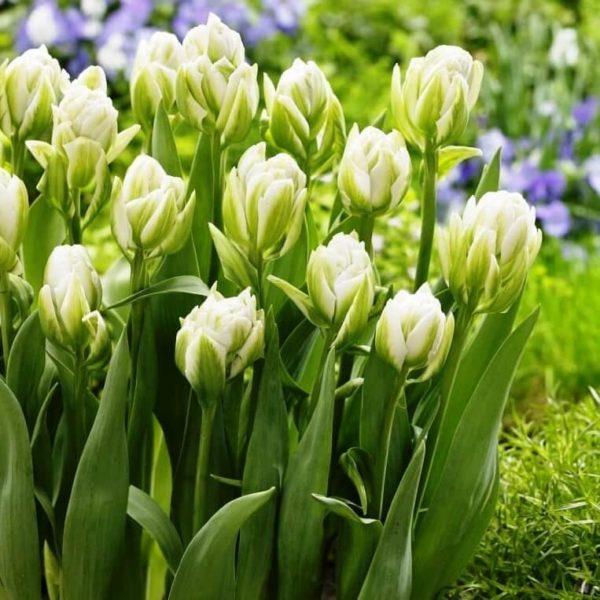 Луковицы тюльпана Бруклин