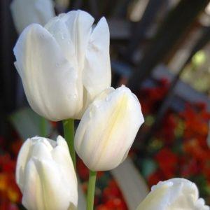 Луковицы тюльпана Вайс Берлинер