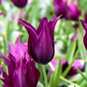 Луковицы тюльпана Бургунди