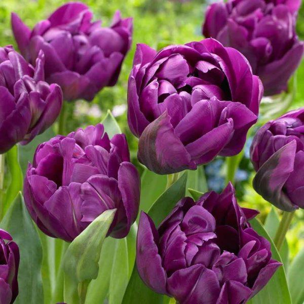 Луковицы тюльпана Негрита