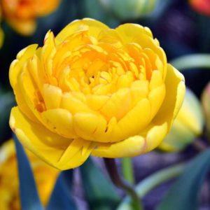 Луковицы тюльпана Елоу Помпонет