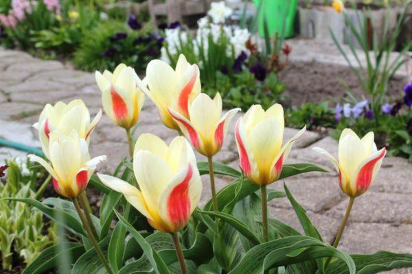 Луковица тюльпана Корона