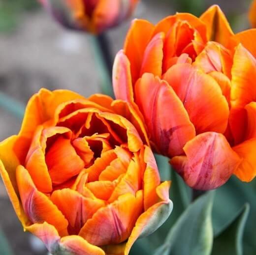 Луковицы тюльпана Монте Оранж