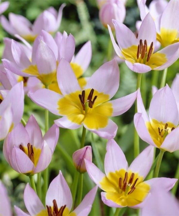 Луковицы тюльпана Саксатилис