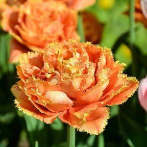 Луковицы тюльпана Сеншуал Тач