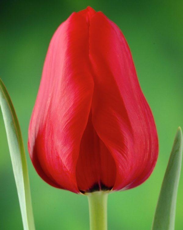 Луковицы тюльпана Иль де Франс