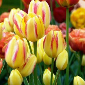 Луковицы тюльпана Антуанетта