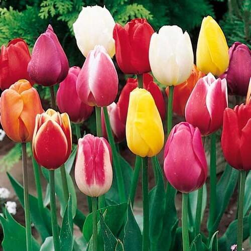 Луковицы тюльпанов Триумф