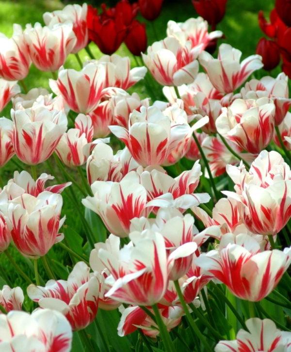 Луковицы тюльпана Сорбет