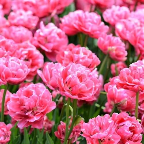 Луковицы тюльпана Авейрон