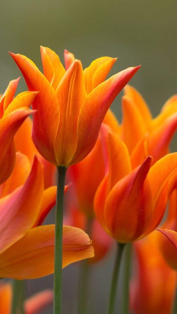 Луковицы тюльпана Баллад Оранж