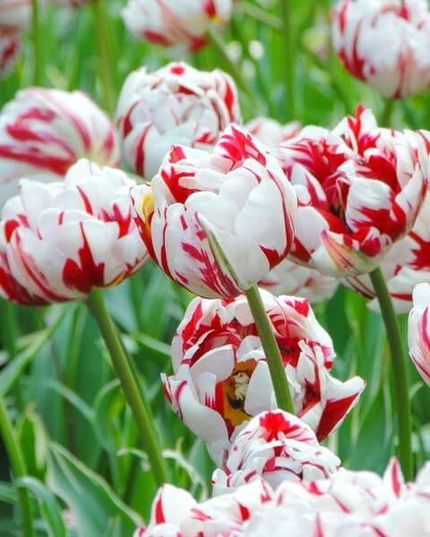 Луковицы тюльпана Карнавал де Найс