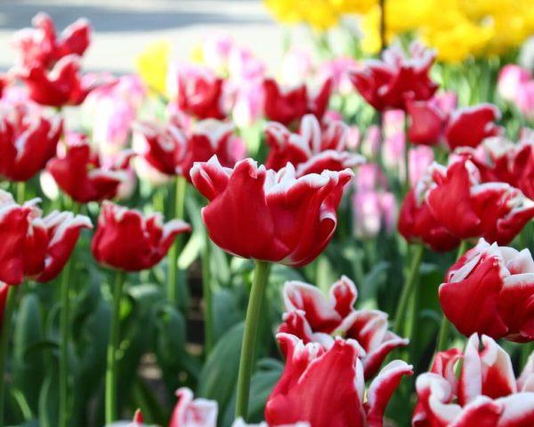 Луковицы тюльпана Элегант Краун