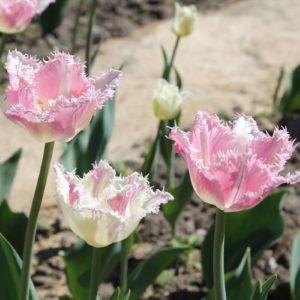 Луковицы тюльпана Даллас