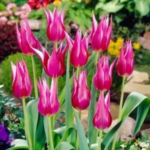 Луковицы тюльпана Лилиледи