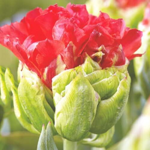 Луковицы тюльпана Дабл Кросби