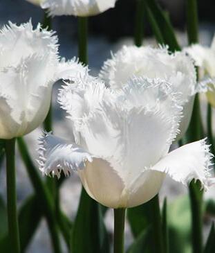 Луковицы тюльпана Дэйтона