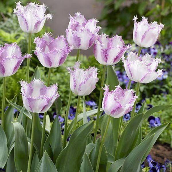 Луковицы тюльпана Ариа Кард