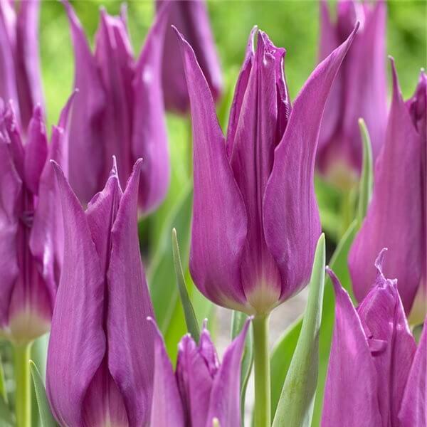 Луковицы тюльпана Перпл Дрим